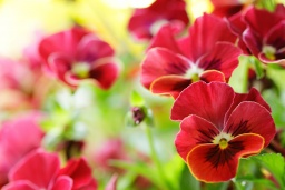 Pansies_Red_Flowers_5616x3744.jpg